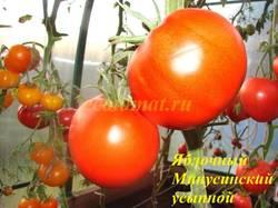 Яблочный Минусинский усыпной.JPG