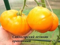 Саяногорский великан оранжевый (1).JPG