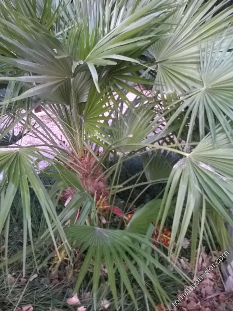 Финиковая пальма?