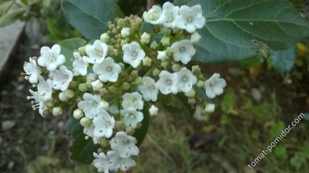 Кустарник с белыми цветами и голубыми семенами