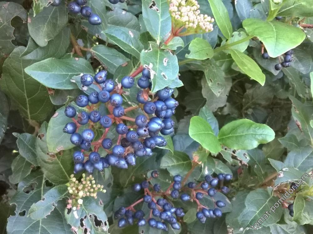 Кустарник с белыми цветами и голубыми семенами-калина лавролистная