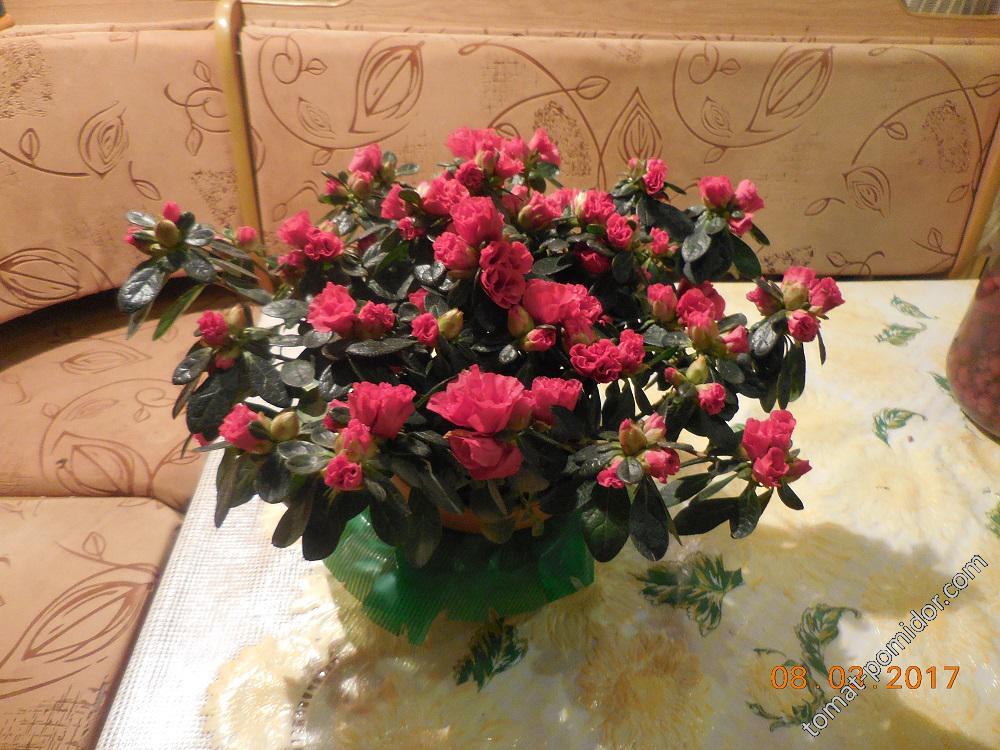 Подарок на 8 Марта - азалия
