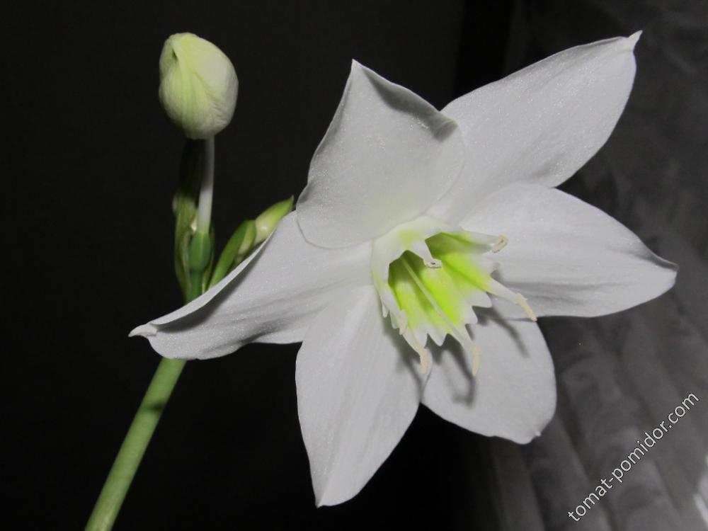 Амазонская лилия- эухарис