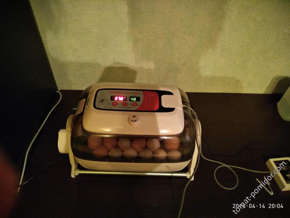 14.04.18 заложила яйца кохов, кучинок и пушкинят в инкубатор
