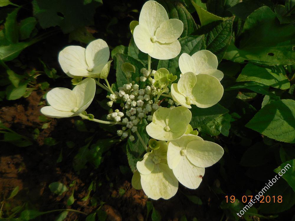 Гортензия. Начало цветения