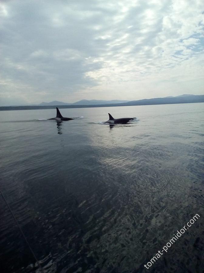 касатки в 40 км от Охотского моря (в проливе), сегодня