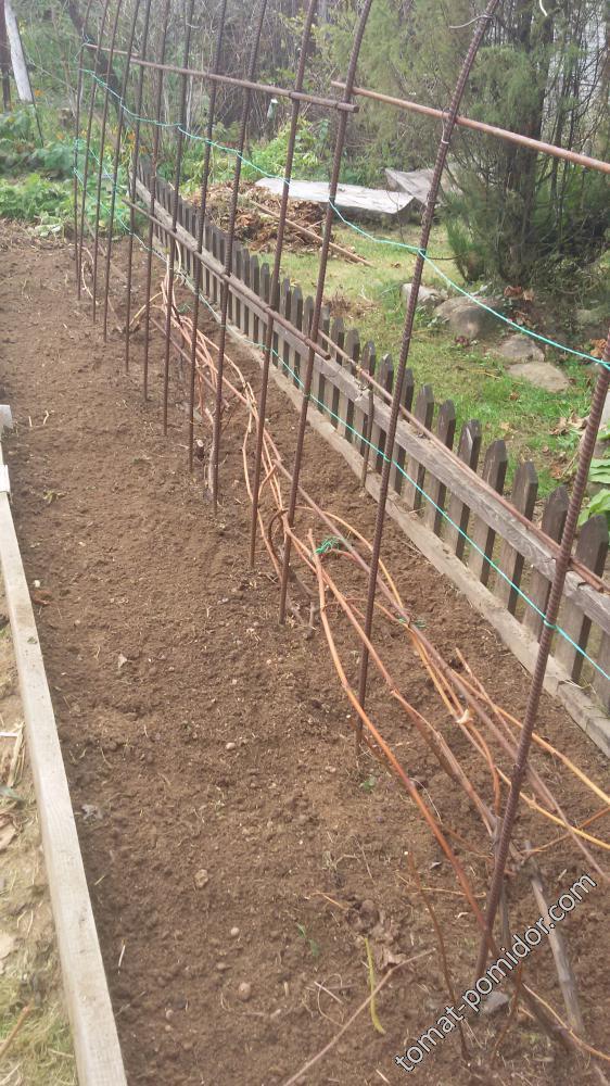 Виноград обрезан, готов к укрытию