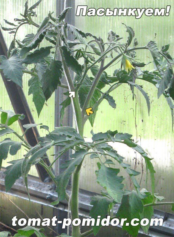 Желтая стрелка - пасынок. Он НИЖЕ первой цветочной кисти!