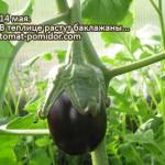 Выращивание баклажанов – от рассады до урожая