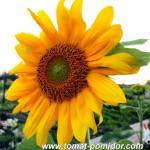 Сад подсолнухов. Желтый цвет в ландшафтном дизайне