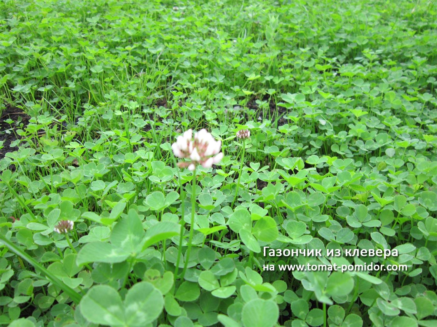 Клеверный газон: выбор сорта, когда сеять 68