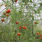 Осенняя подготовка теплицы для помидоров, профилактика заболеваний