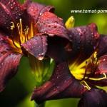 Лилейники в саду, посадка и уход