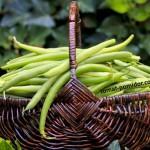 Выращиваем стручковую (спаржевую) фасоль, такую полезную и красивую