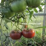 Грядки и посадка томатов в теплице. Северный вариант.