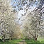 Коккомикоз вишни. Когда и как обрабатывать?