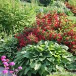 Хосты или функии. Применение в дизайне сада и уход.