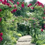 Розы в саду — эффектные композиции и сочетания