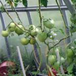 Нужно ли обрывать листья у томатов?..