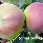 Посадка яблони, выбор саженца, уход в первый год