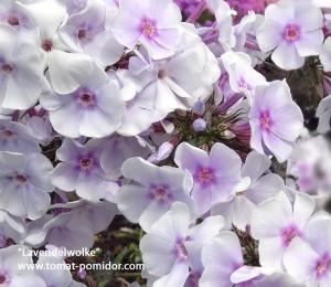 Lavendelwolke, 90-120 см