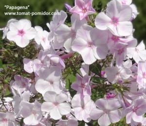 """Papagena"", 80-100 см"