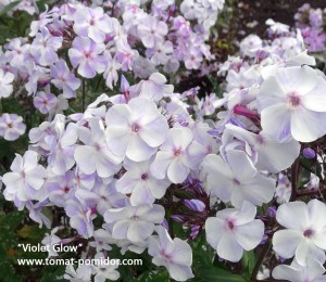 """Violet Glow"", 70-80 см"