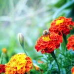 Бархатцы из семян