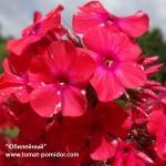 Флоксы в саду – посадка, уход, сорта с фото