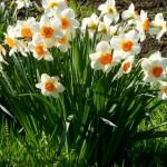Нарциссы в саду – посадка и условия