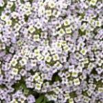 Алиссум (лобулярия) – посадка, уход за цветами
