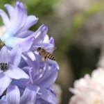 Посадка гиацинтов и уход после цветения