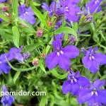 Лобелия — посадка цветов, уход, рассада