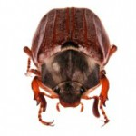 Майский жук и его личинка