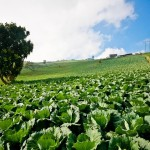 Выбор участка и осенняя подготовка почвы под белокочанную капусту