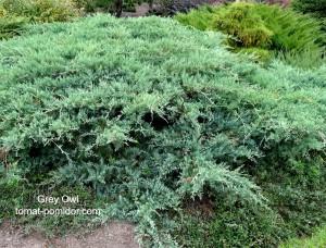 """Вирджинский можжевельник """"Grey owl"""" (серая сова) никак не напоминает дерево."""