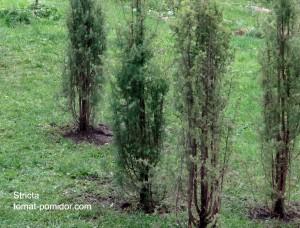 Обыкновенный можжевельник тоже бывает необыкновенным. Сорт Stricta вырастает в высоту до 4 метров, а в ширину - всего 0.5 метра.