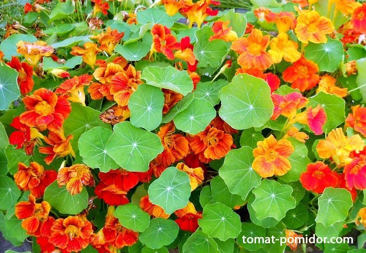 цветок настурция фото: