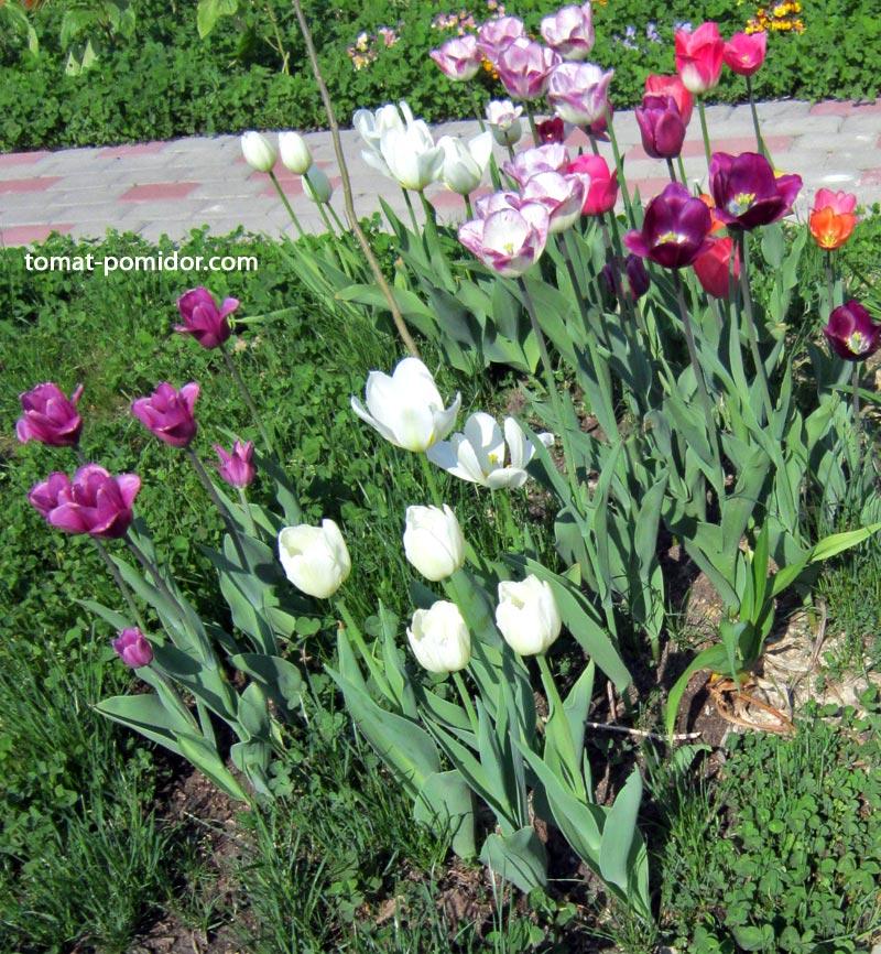 Можно ли тюльпаны не выкапывать на зиму