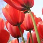 Когда выкапывать тюльпаны и надо ли это делать