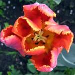 Виды, сорта и группы тюльпанов