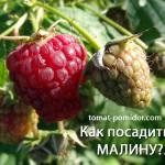 Посадка малины – способы и сроки