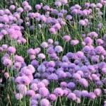 5 многолетних луков для вашего огорода