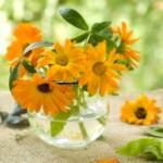 Календула – украшение сада и польза для садовода