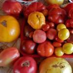 Рейтинг сортов томатов 2013 года