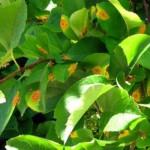 Ржавчина груши и яблони