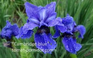 "Ирис сибирский ""Cambridge blue"""