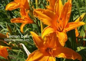 lilejnik-limon-bells
