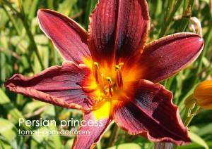 lilejnik-persian-pr