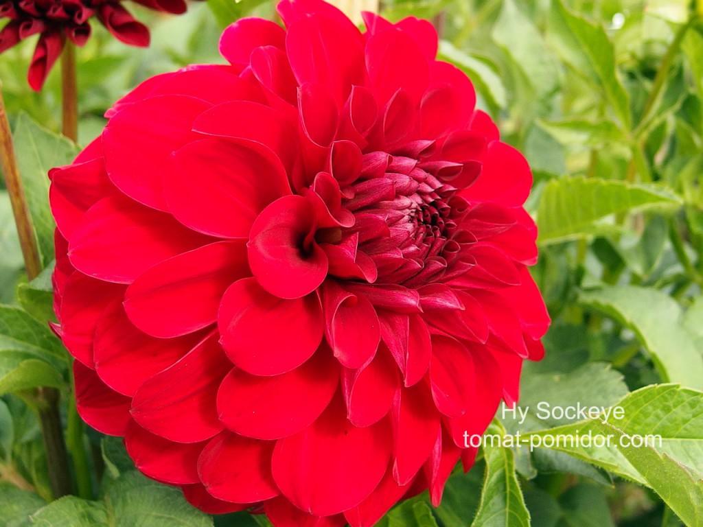 Фото георгины цветы все сорта